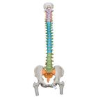 Didactic Flexible Human Spine Model with Femur Heads - 3B Smart Anatomy, 1000129 [A58/9], Human Spine Models