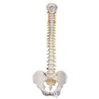 Highly Flexible Human Spine Model, Mounted on a Flexible Core - 3B Smart Anatomy, 1000130 [A59/1], Human Spine Models