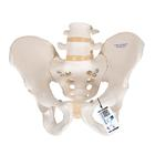 Human Male Pelvis Skeleton  Model - 3B Smart Anatomy, 1000133 [A60], Genital and Pelvis Models