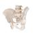 Human Male Pelvis Skeleton  Model - 3B Smart Anatomy, 1000133 [A60], Genital and Pelvis Models (Small)