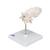 Atlas & Axis Model with Occipital Plate, Wire Mounted, on Removable Stand - 3B Smart Anatomy, 1000142 [A71/5], Vertebra Models (Small)