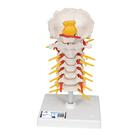 Cervical Spinal Column,A72