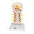 Cervical Human Spinal Column Model - 3B Smart Anatomy, 1000144 [A72], Vertebra Models (Small)