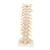 Thoracic Human Spinal Column Model - 3B Smart Anatomy, 1000145 [A73], Vertebra Models (Small)
