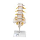 Lumbar Spinal Column,A74