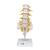 Lumbar Human Spinal Column Model - 3B Smart Anatomy, 1000146 [A74], Vertebra Models (Small)