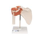 Functional Human Shoulder Joint  - 3B Smart Anatomy, 1000159 [A80], Joint Models