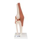 Functional Human Knee Joint Model with Ligaments - 3B Smart Anatomy, 1000163 [A82], Joint Models