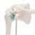 Mini Human Shoulder Joint Model with Coss Section - 3B Smart Anatomy, 1000172 [A86/1], Joint Models (Small)