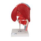 Hip Joint with Removable Muscles, 7 part, 1000177 [A881], Joint Models