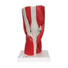 Human Knee Joint Model with Removable Muscles, 12 part - 3B Smart Anatomy, 1000178 [A882], Muscle Models