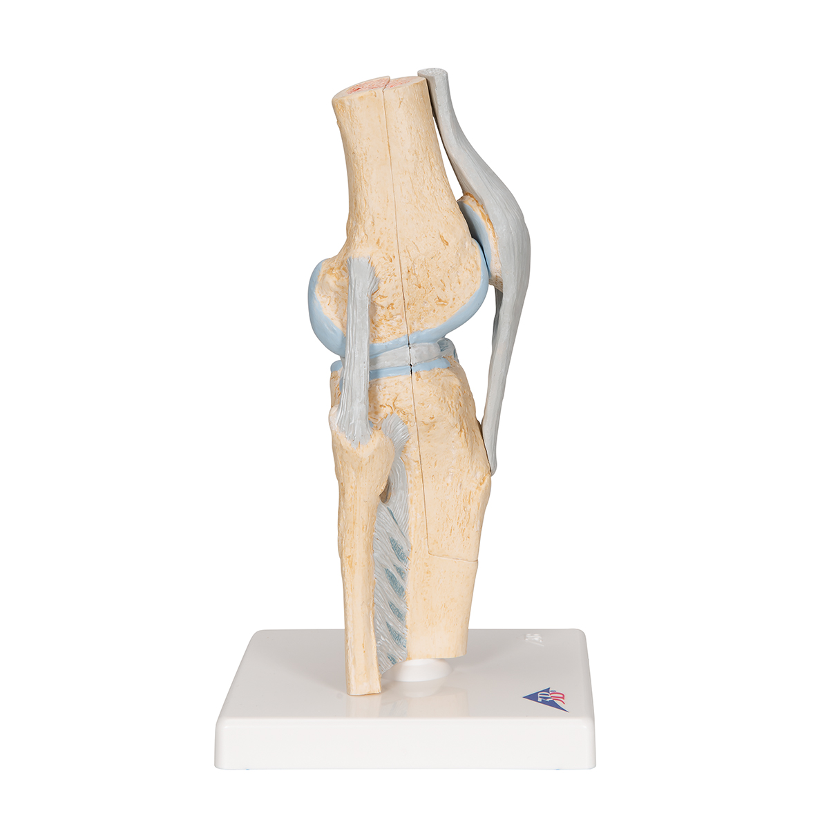 ZLF Human Knee Model Knee Ligament Model with Base Doctor-Patient Communication and Science Education Flexible Naturally Larger