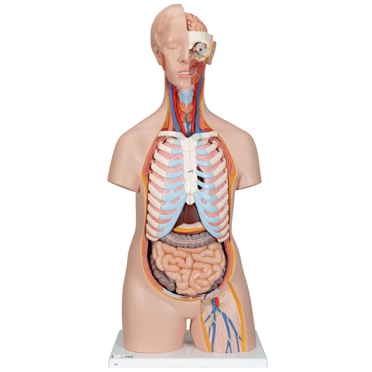 Head And Torso Diagram Diy Wiring Diagrams