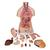 Classic Unisex Human Torso Model with Opened Neck and Back, 18 part - 3B Smart Anatomy, 1000193 [B19], Human Torso Models (Small)