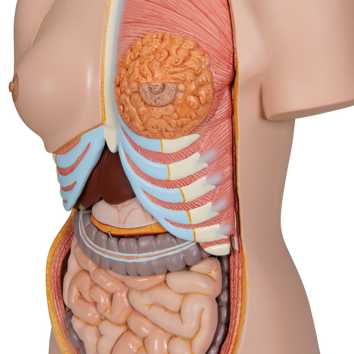 Human Anatomy Sex 78