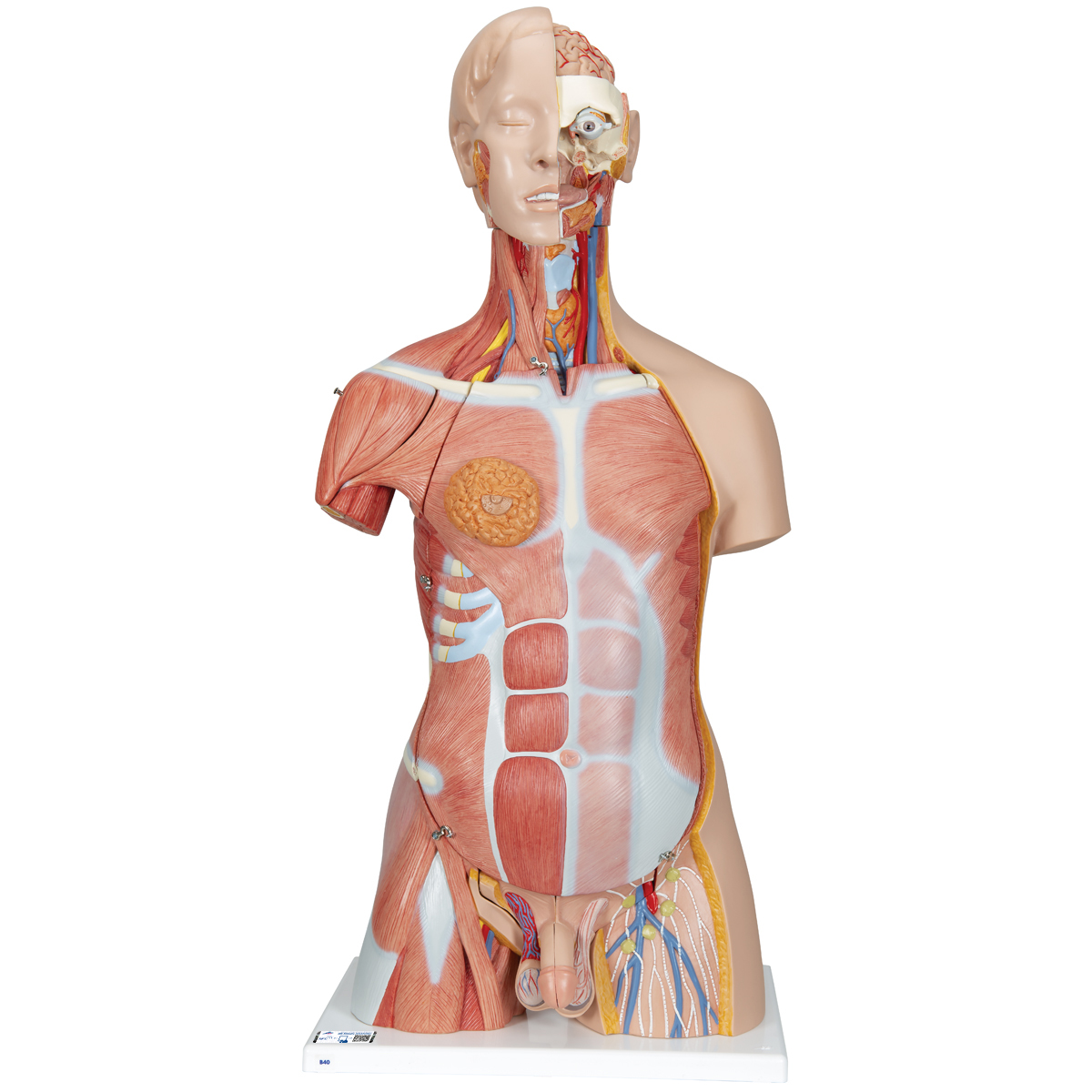 human torso model | life-size torso model | anatomical teaching, Muscles