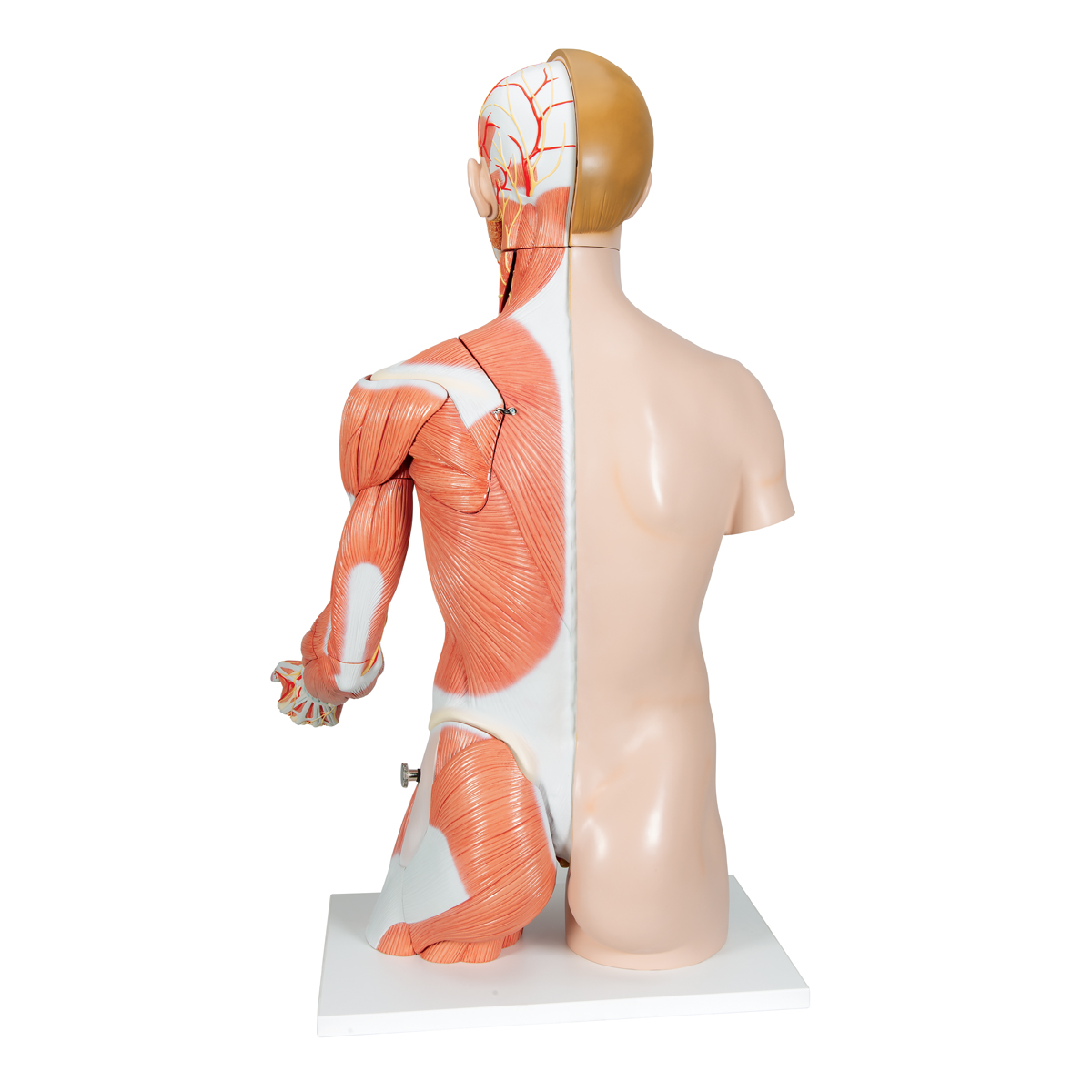 Human Torso Model - Life-Size Torso Model - Anatomical Teaching ...