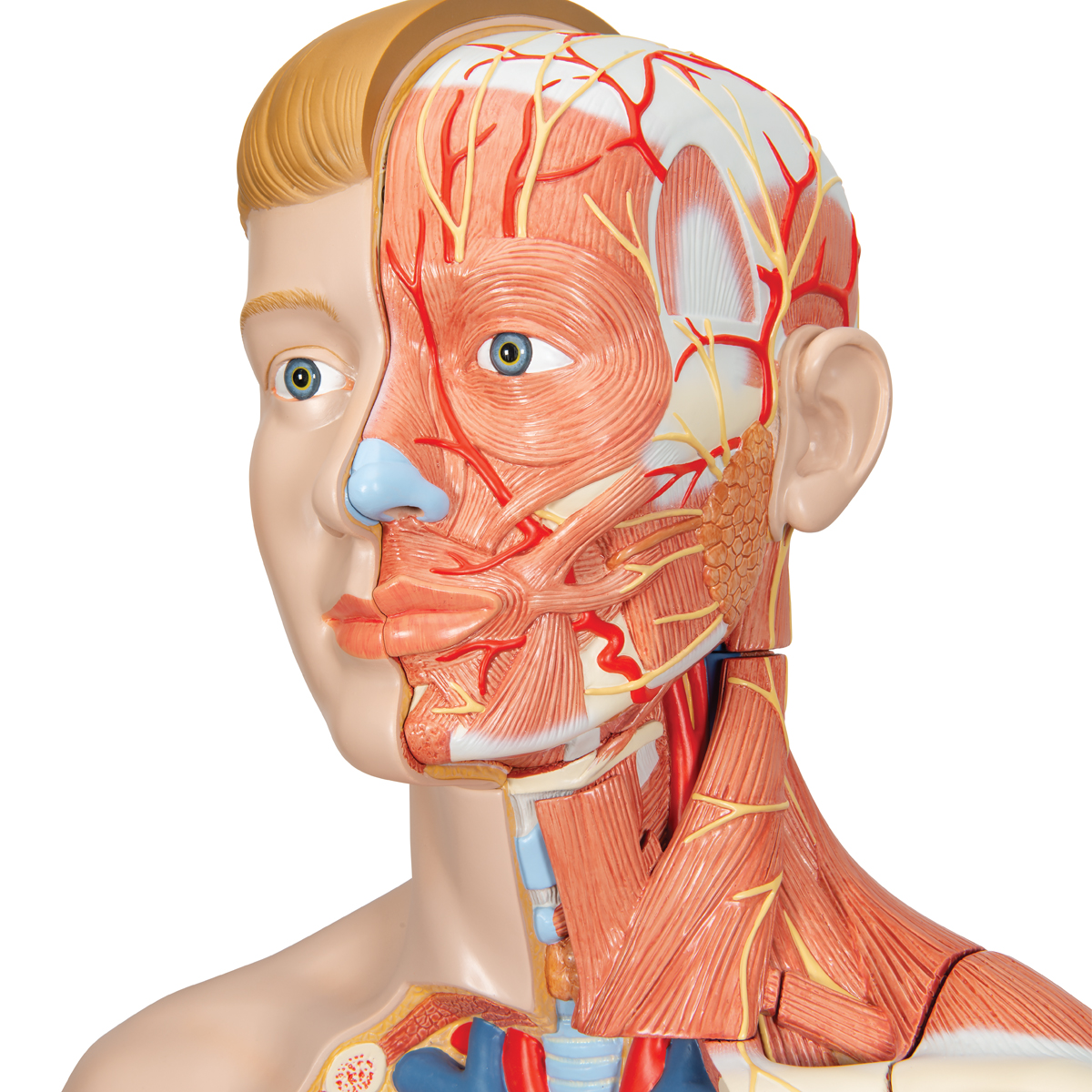 Human Torso Model - Life-Size Torso Model - Anatomical Teaching ...