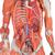3/4 Life-Size Dual Sex Human Muscle Model on Metal Stand, 45-part - 3B Smart Anatomy, 1013881 [B50], Muscle Models (Small)
