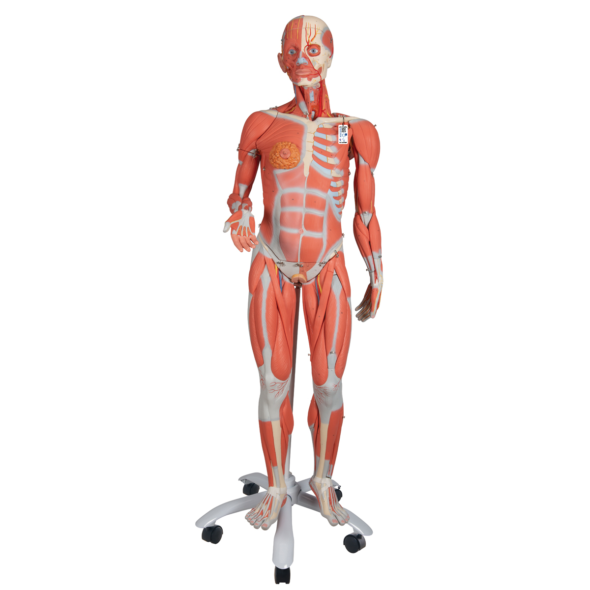 3/4 life-size female muscle model on a metal stand without, Muscles