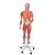 3/4 Life-Size Female Human Muscle Model without Internal Organs on Metal Stand, 23 part - 3B Smart Anatomy, 1013882 [B51], Muscle Models (Small)