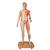 Life-Size Dual Sex Human Figure, Half Side with Muscles, 39 part - 3B Smart Anatomy, 1000209 [B53], Muscle Models (Small)