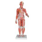 1/2 Life-Size Complete Dual Sex Muscle Model, 33-part,B55