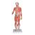 1/2 Life-Size Complete Human Dual Sex Muscle Model, 33 part - 3B Smart Anatomy, 1000210 [B55], Muscle Models (Small)