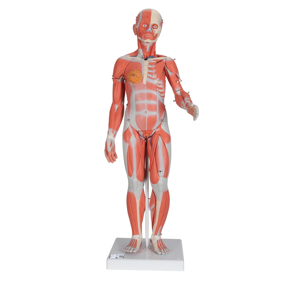 Anatomical Teaching Models Plastic Human Muscle Models Female