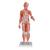 1/2 Life-Size Complete Human Female Muscle Figure, without Internal Organs, 21 part - 3B Smart Anatomy, 1000211 [B56], Muscle Models (Small)