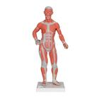 1/3 Life-Size Human Muscle Figure, 2 part - 3B Smart Anatomy, 1000212 [B59], Muscle Models