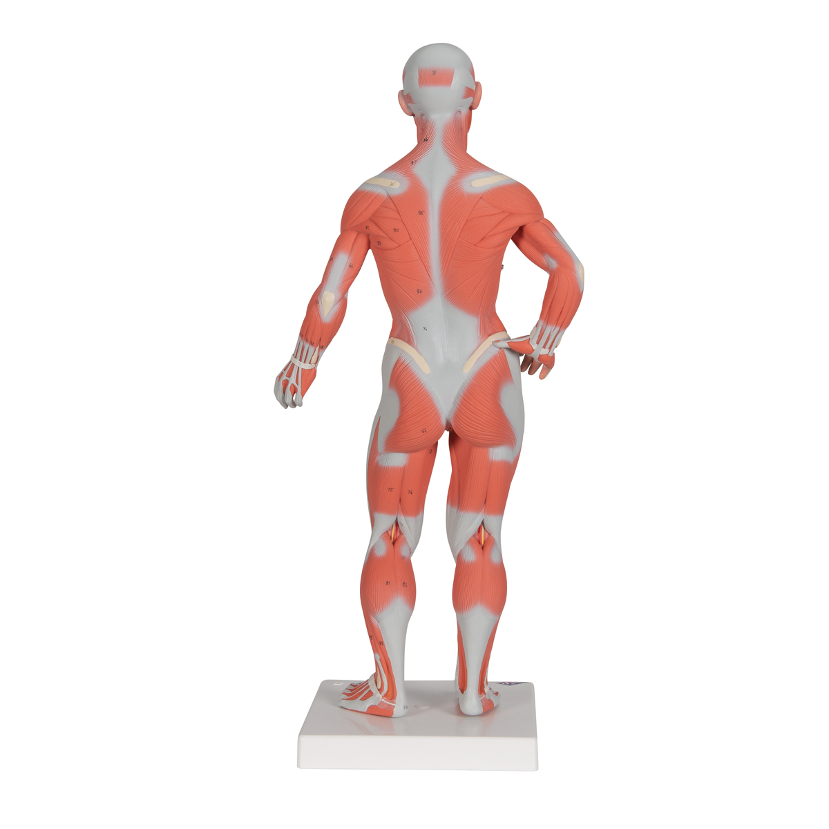 anatomical teaching models | plastic human muscle models | muscle, Muscles