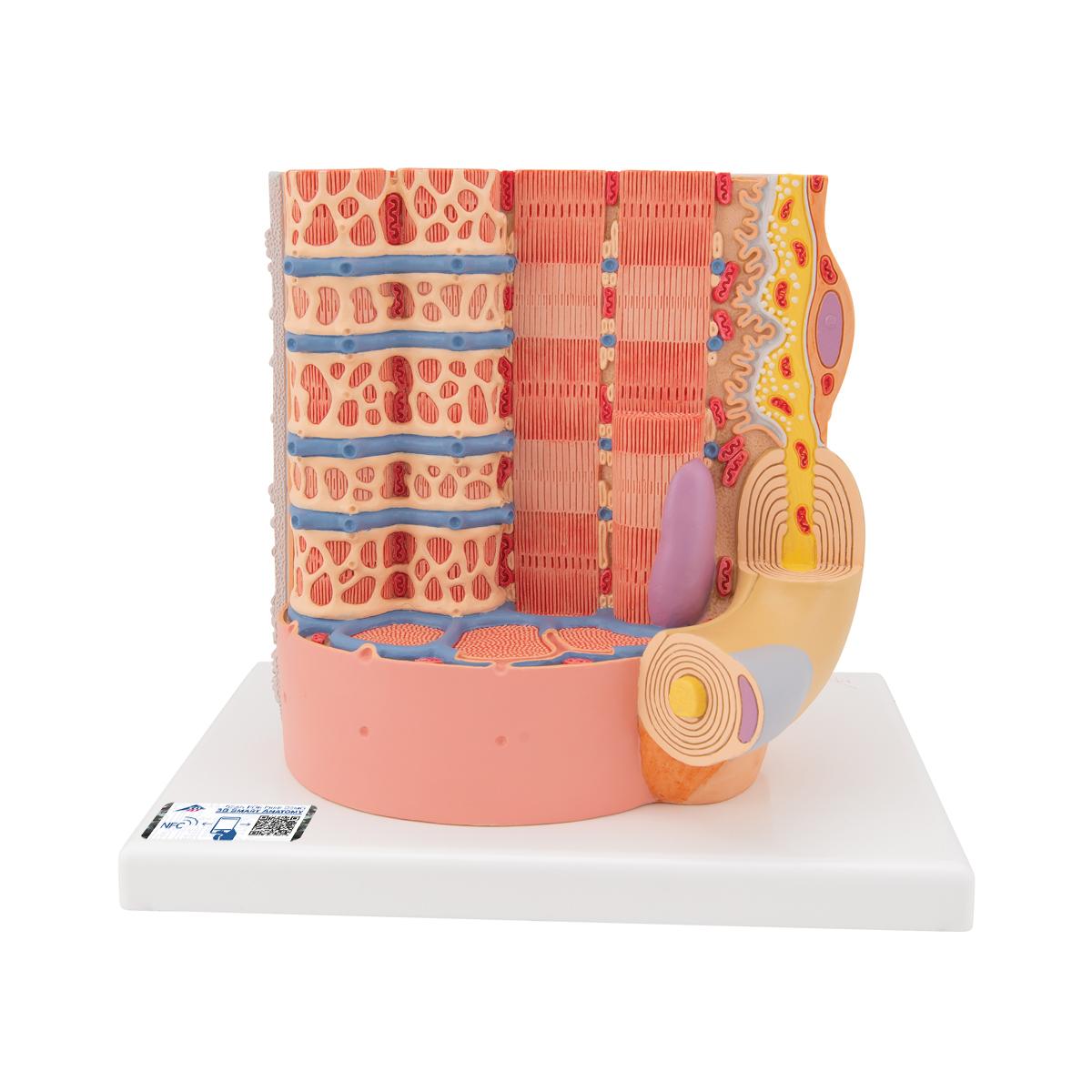Sarcomere Model | Muscle Fiber Model | Skeletal Muscle ...