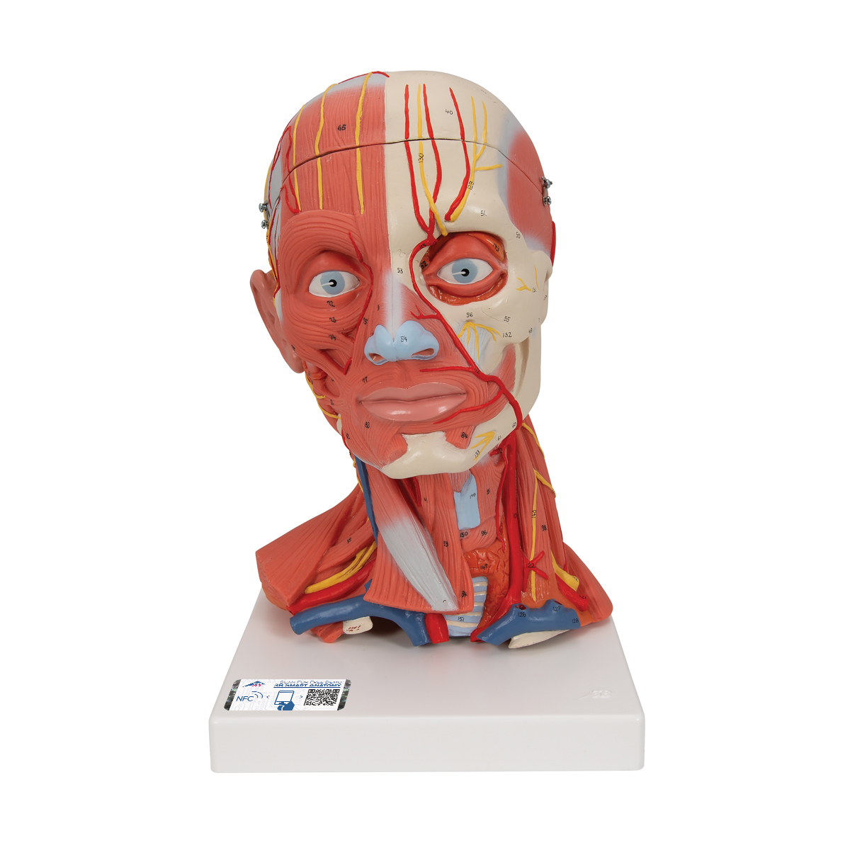 Anatomical Teaching Models Plastic Anatomy Models Head And Neck