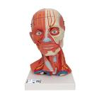 Head and Neck Musculature, 5 part, 1000214 [C05], Head Models