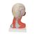Head and Neck Musculature Model, 5 part - 3B Smart Anatomy, 1000214 [C05], Head Models (Small)