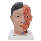 Asian Deluxe Head with Neck, 4 part, 1000215 [C06], Head Models