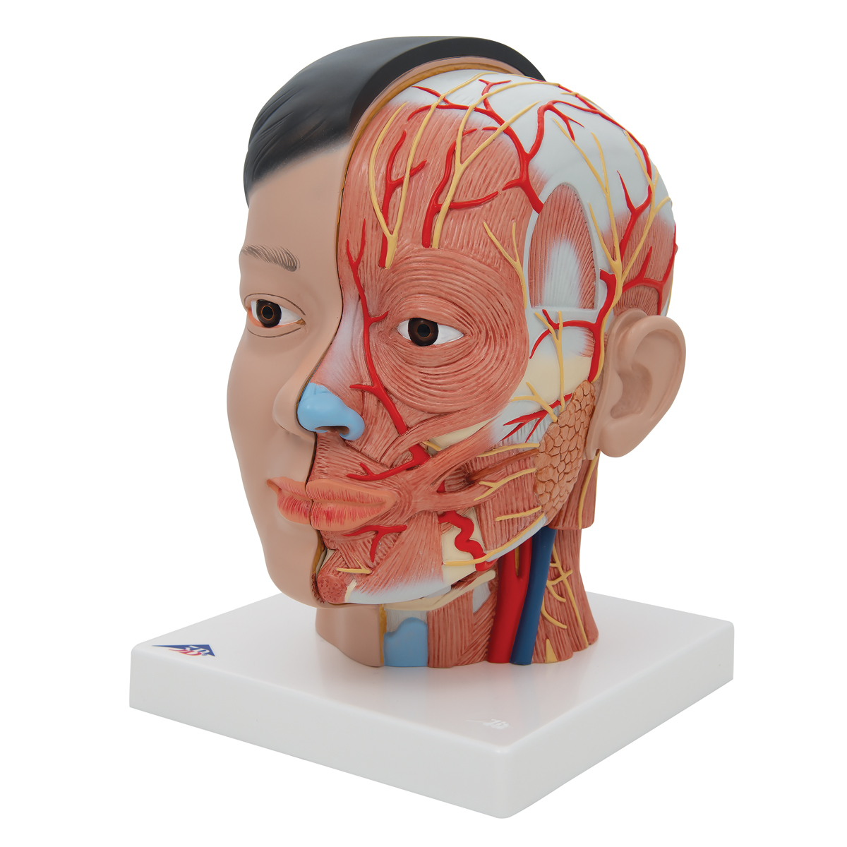 Anatomical Teaching Models - Plastic Anatomy Models - Asian Deluxe ...