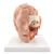 Human Head Model, 6 part - 3B Smart Anatomy, 1000217 [C09/1], Head Models (Small)