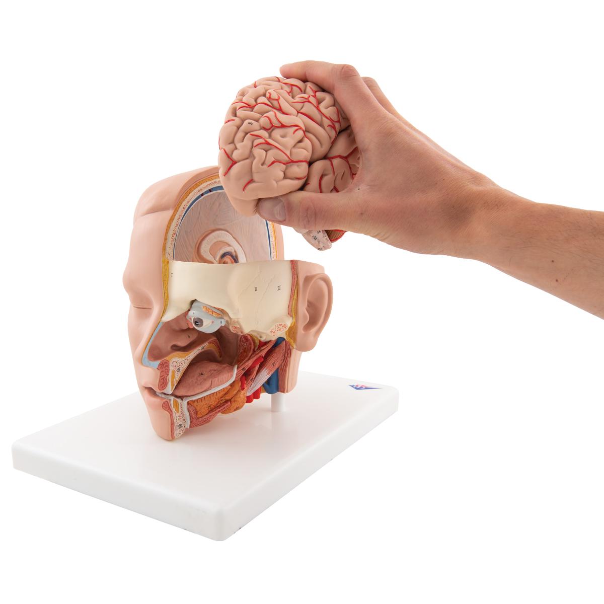 Anatomical Teaching Models Plastic Anatomy Models Head Model