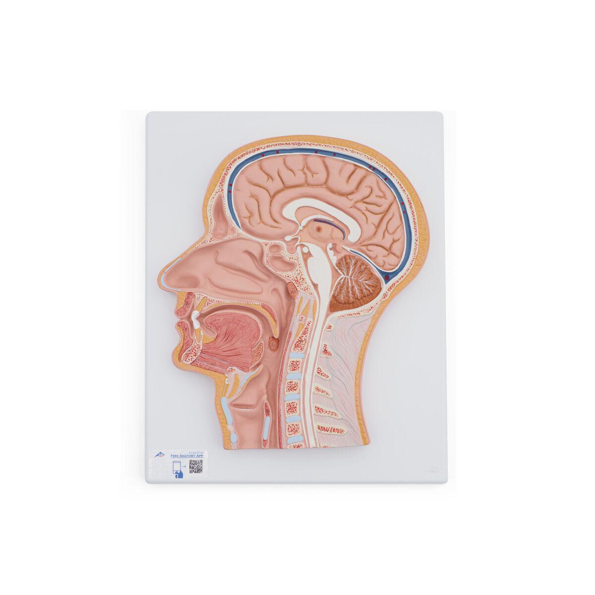 Anatomical Teaching Models | Plastic Anatomy Models | Median Section ...