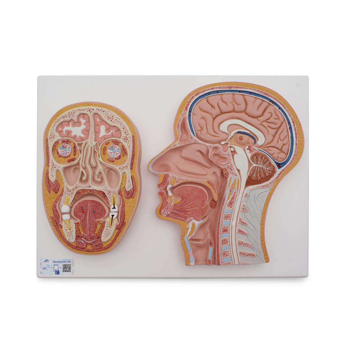 Anatomical Teaching Models - Plastic Anatomy Models - Median and ...