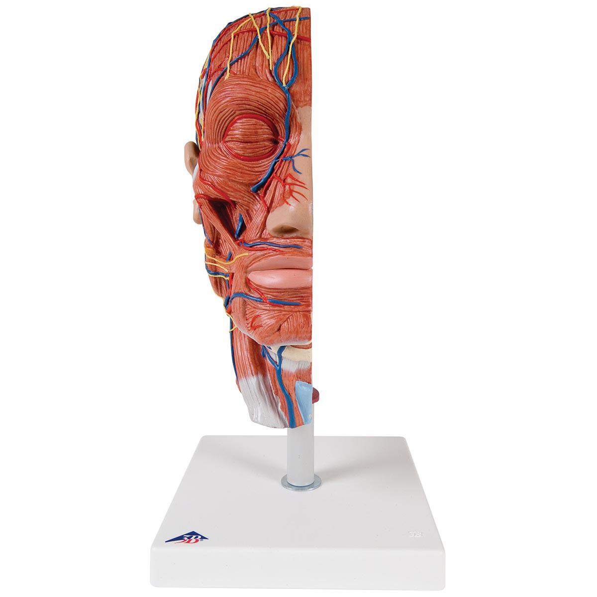 Anatomical Teaching Models | Plastic Anatomy Models | Half Head with ...
