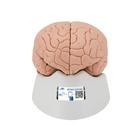 Brain Model, 2 part, 1000222 [C15], Brain Models