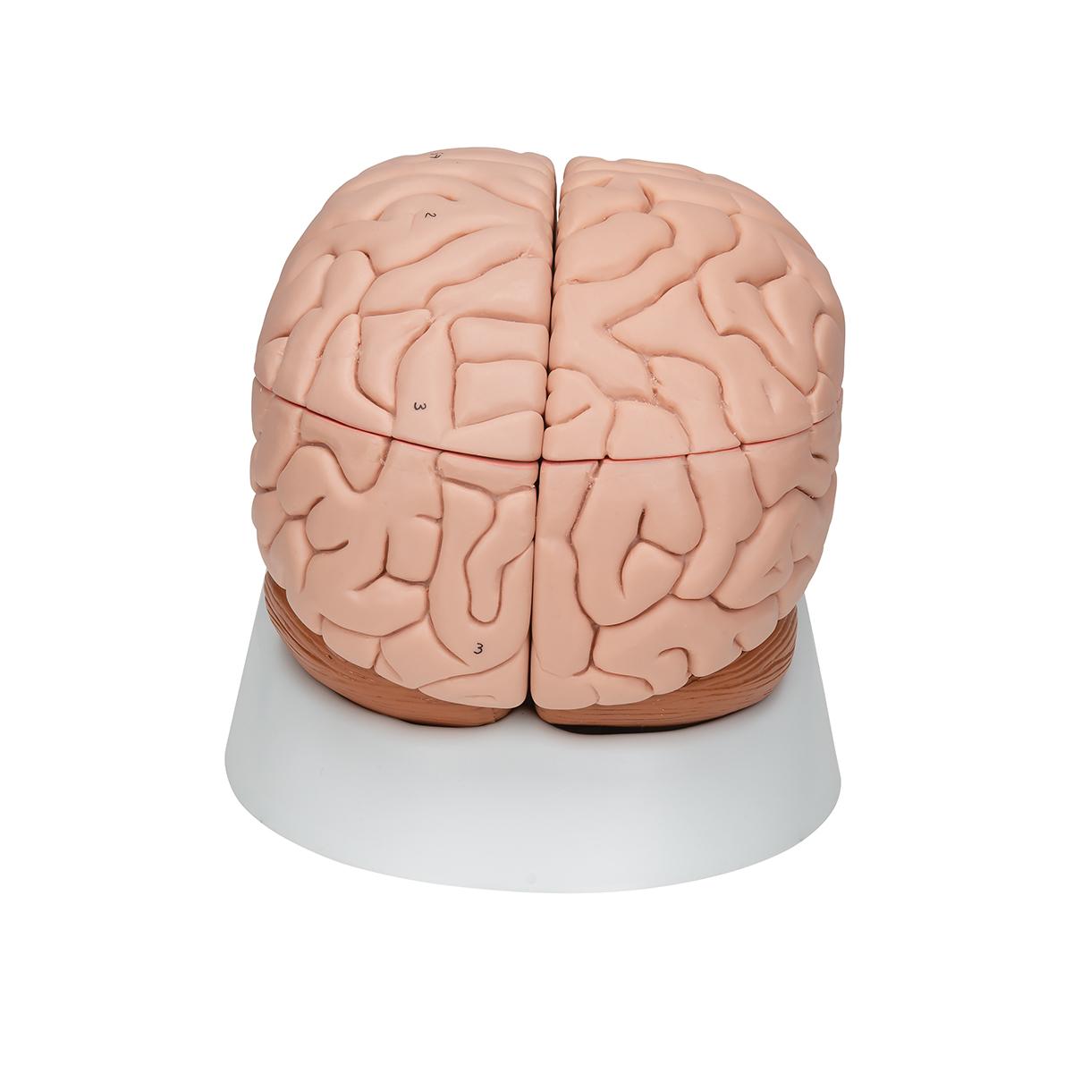 human brain ecosia