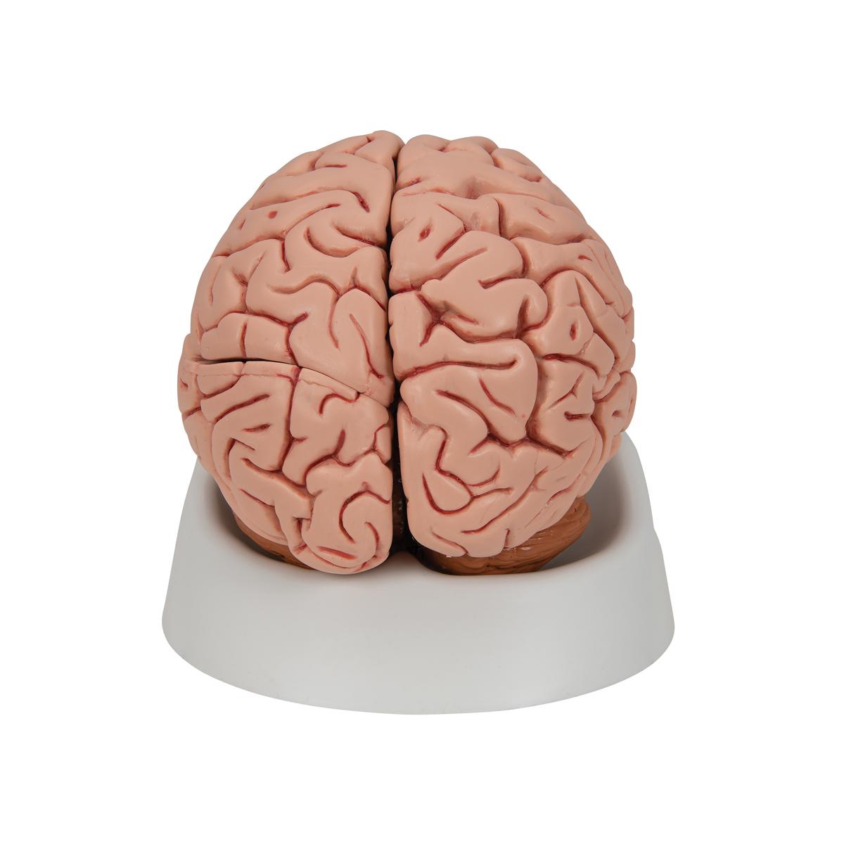 Anatomical Teaching Models Plastic Human Brain Models Classic 5