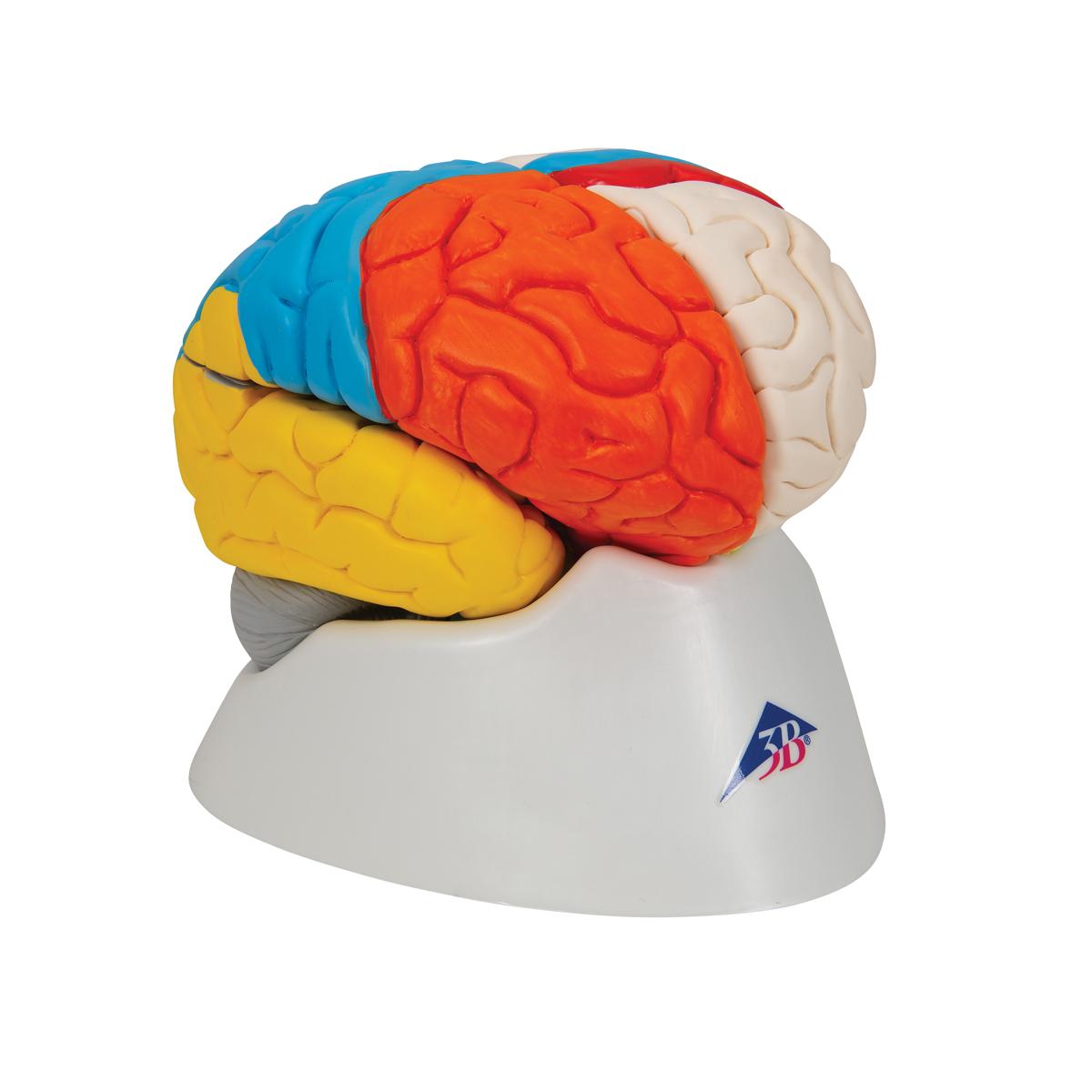 Anatomical Teaching Models Plastic Human Brain Models