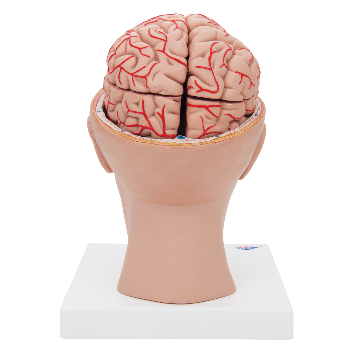 Anatomical Teaching Models Plastic Human Brain Models Brain With