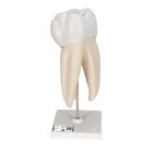 Upper Triple-Root Molar Human Tooth Model, 3 part - 3B Smart Anatomy, 1017580 [D10/5], Replacements