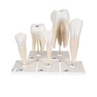 Classic Tooth Model Series, 5 models, 1017588 [D10], Dental Models